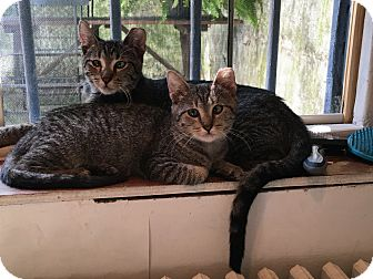 Domestic Shorthair Cat for adoption in Brooklyn, New York - Solstice
