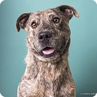 Mountain Cur Mix Dog for adoption in Anniston, Alabama - Bruno