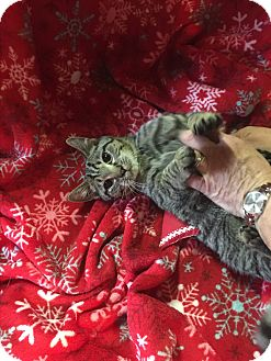 Domestic Shorthair Kitten for adoption in Butner, North Carolina - Sammy