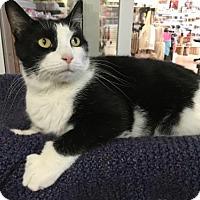 Adopt A Pet :: Dominic-Bobtail - Harrisburg, PA
