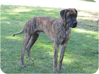 Great Dane Dog for adoption in Woodstock, Illinois - Hoss