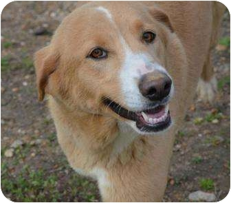 Golden Retriever/Collie Mix Dog for adoption in New Boston, New Hampshire - Beauty Too