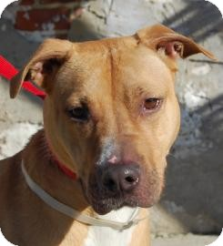American Pit Bull Terrier/Labrador Retriever Mix Dog for adoption in Brooklyn, New York - Ciera