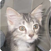 Adopt A Pet :: SilverFox - Dallas, TX