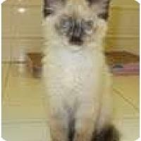 Adopt A Pet :: Pearl - Arlington, VA