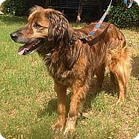 Adopt A Pet :: Guiness - Conway, AR