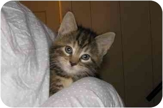 Domestic Shorthair Kitten for adoption in Bristol, Rhode Island - Abby