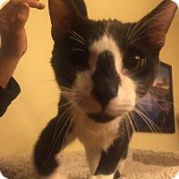 Adopt A Pet :: Columbo - Glendale, AZ