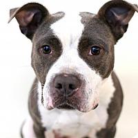 Adopt A Pet :: Roxi - Bloomington, MN