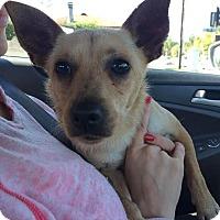 Adopt A Pet :: Cowboy - Encino, CA