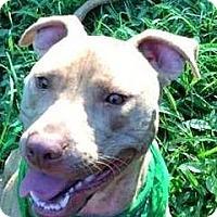 Adopt A Pet :: Major - NEEDS FOSTER HOME - Memphis, TN