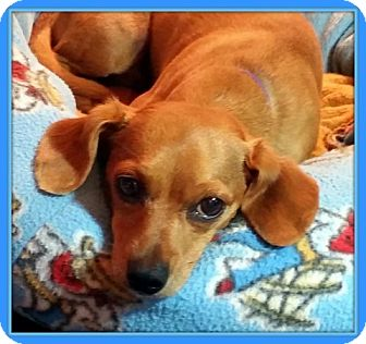 Dachshund Dog for adoption in Newfield, New Jersey - Frank (Frankie)