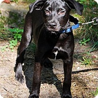 Adopt A Pet :: Boba - Brooklyn Center, MN