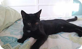 Domestic Shorthair Kitten for adoption in Sherman Oaks, California - Lilli