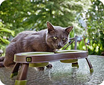 Domestic Shorthair Cat for adoption in Chesapeake, Virginia - Batman