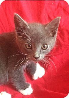 Domestic Shorthair Kitten for adoption in Irvine, California - JERRY