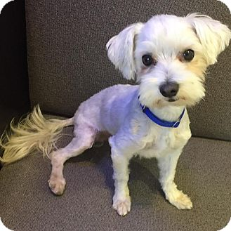 Maltese Mix Dog for adoption in Los Angeles, California - HARLEY