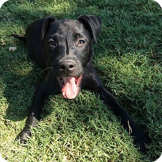 Labrador Retriever Mix Puppy for adoption in Nashville, Tennessee - Chloe