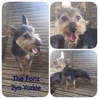 Yorkie, Yorkshire Terrier Mix Dog for adoption in DeForest, Wisconsin - Fonz