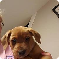 Adopt A Pet :: Wishbone - WESTMINSTER, MD