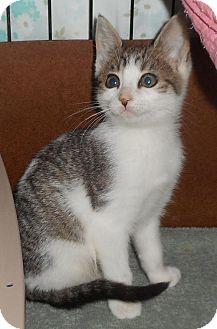 Domestic Shorthair Cat for adoption in Furlong, Pennsylvania - Lacy