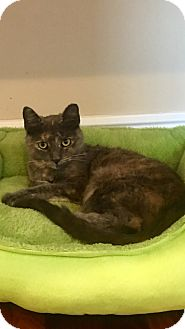 Domestic Shorthair Cat for adoption in Staten Island, New York - Jeffrey and Jeanine