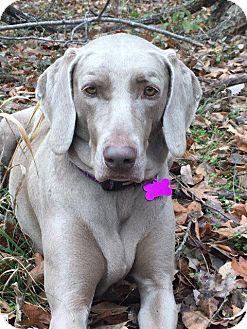 Weimaraner Mix Dog for adoption in Aurora, Colorado - Jasmine