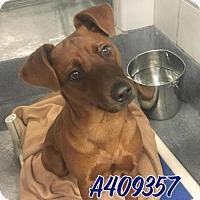 Adopt A Pet :: BOLIVAR - San Antonio, TX