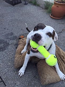 American Bulldog Dog for adoption in Beverly Hills, California - Precious
