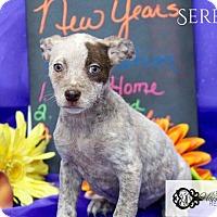 Adopt A Pet :: Serena - DeForest, WI