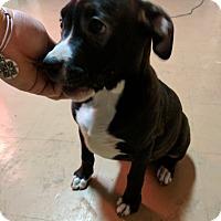 Adopt A Pet :: Sweet Spooky - Foster, RI