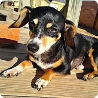 Dachshund Dog for adoption in Spartanburg, South Carolina - Dannie HW+