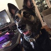 Adopt A Pet :: Lycan - Rowlett, TX