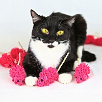 Domestic Shorthair Cat for adoption in Ridgway, Colorado - Angelica