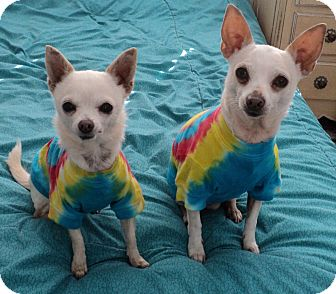 Chihuahua Dog for adoption in Studio City, California - Linda & Leo