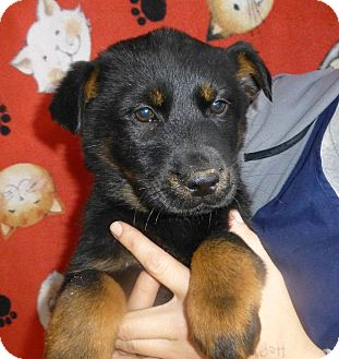 Golden Retriever/German Shepherd Dog Mix Puppy for adoption in Oviedo, Florida - Cammy