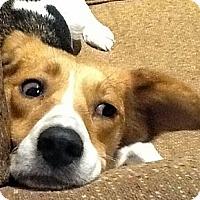 Adopt A Pet :: Praline - Novi, MI