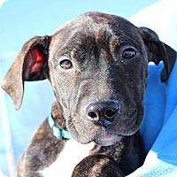 Adopt A Pet :: Collin - Reisterstown, MD