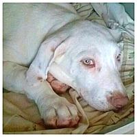 Adopt A Pet :: Crystal - Miami, FL