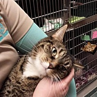 Adopt A Pet :: Mittens - Lima, OH