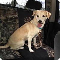 Adopt A Pet :: Blondie - Algonquin, IL