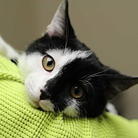 Domestic Shorthair Kitten for adoption in Marietta, Georgia - McQueen