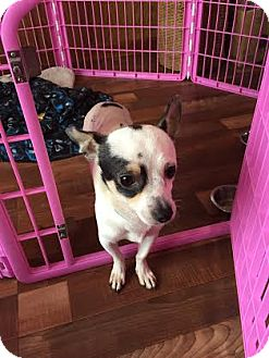 Chihuahua/Jack Russell Terrier Mix Dog for adoption in Surrey, British Columbia - Patches