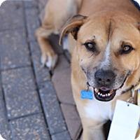 Adopt A Pet :: Samson - San Antonio, TX