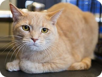Domestic Shorthair Cat for adoption in Mooresville, North Carolina - A..  Olivia