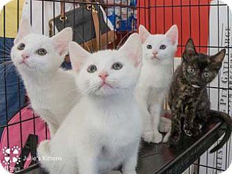 Domestic Shorthair Kitten for adoption in Merrifield, Virginia - Fuzzy