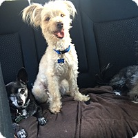 Poodle (Miniature) Mix Dog for adoption in Burbank, California - Cookie