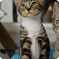 Adopt A Pet :: Chianti160748 - Atlanta, GA