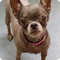 Adopt A Pet :: Coco Beanie - S. Pasedena, FL