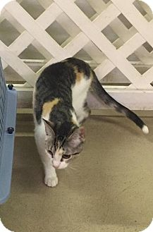Domestic Shorthair Cat for adoption in Gilberts, Illinois - Cinder